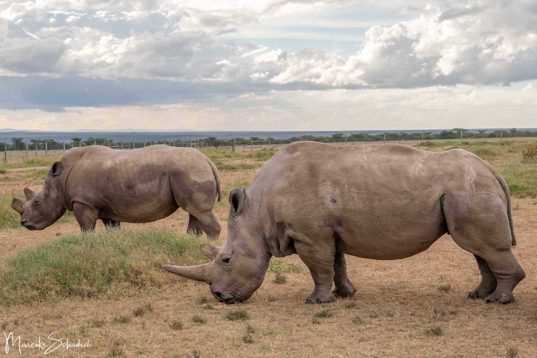 Northern White Rhinos Ol Pejeta - Nördliches Breitmaulnashorn (Ceratotherium simum cottoni)