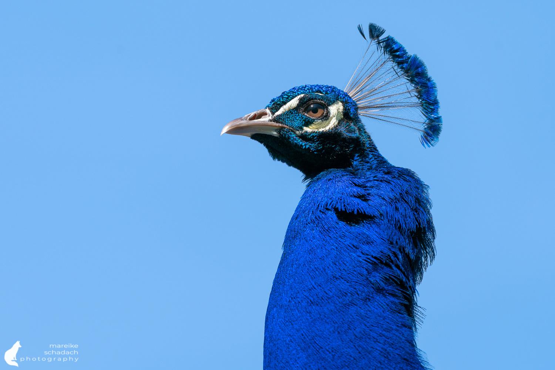 Blue Peacock on Peacock Island in Berlin